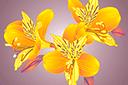 Трафарет цветка Альстромерия